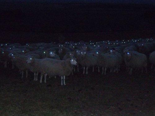 Овцы, сфотографированные ночью, — зрелище не для слабонервных! (20 фото)