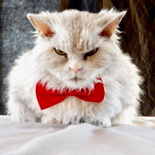 Помпезный Альберт, которого когда-то не допустили к участию в выставке кошек, теперь набирает сотни тысяч подписчиков в Instagram (12 фото)