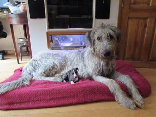 Фотографии с прелестными ирландскими волкодавами, после просмотра которых вы захотите завести себе собаку этой породы (30 фото)
