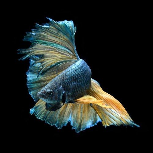 Фотограф делает снимки аквариумных рыбок, какими вы их ещё никогда не видели (29 фото)