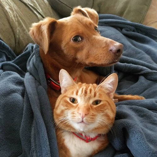 Кот каждый день приходит на диван к собаке, чтобы прижиматься и обниматься с ней, пока их хозяева на работе (2 фото + 3 видео)