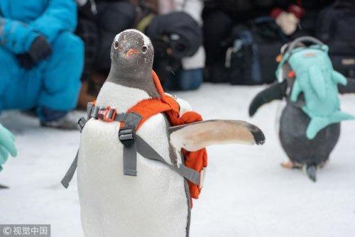 Симпатичная тревога! Пингвины посетили фестиваль ледяных и снежных скульптур в Харбине (4 фото)