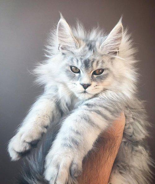 Очаровательные котята мейн-кун, которых вы просто должны увидеть (31 фото)