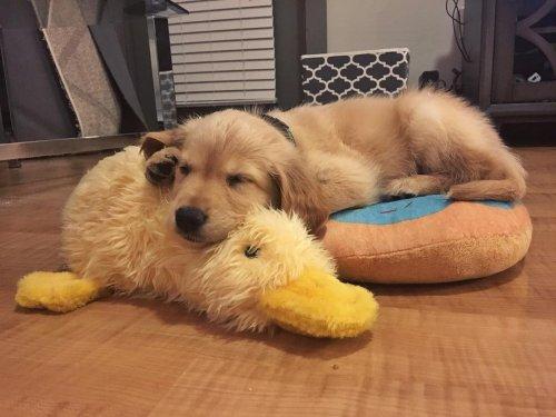 Домашние животные, которые без ума от своих игрушечных друзей (16 фото)