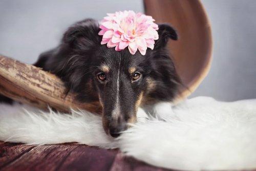 Фотограф устроила для своей беременной собаки фотосессию (7 фото)