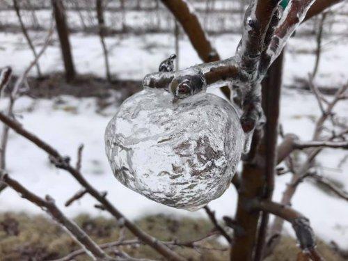 """Из-за ледяного дождя в Мичигане на деревьях появились """"призрачные яблоки"""" (3 фото)"""