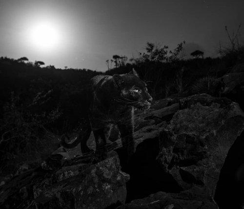 Впервые за 100 лет редкий чёрный леопард попал в объектив фотографа (4 фото)