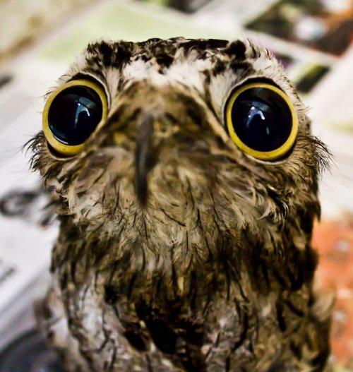 Лесные козодои — самые забавные птицы, которых вы когда-либо видели (10 фото)