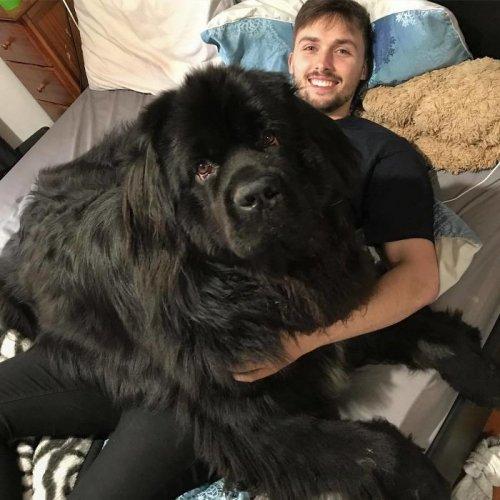 Интернет-пользователи публикуют фотографии своих ньюфаундлендов, и эти очаровательные гиганты похожи на домашних медведей (27 фото)