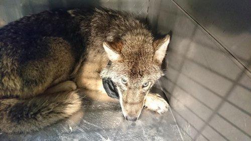 В Эстонии рабочие спасли из ледяной реки собаку, которая на самом деле оказалась волком (8 фото)