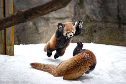 Посетительница зоопарка Розамонд Гиффорд сфотографировала дерущихся детёнышей красной панды, и эти кадры могут сломать ваш мимиметр (5 фото)