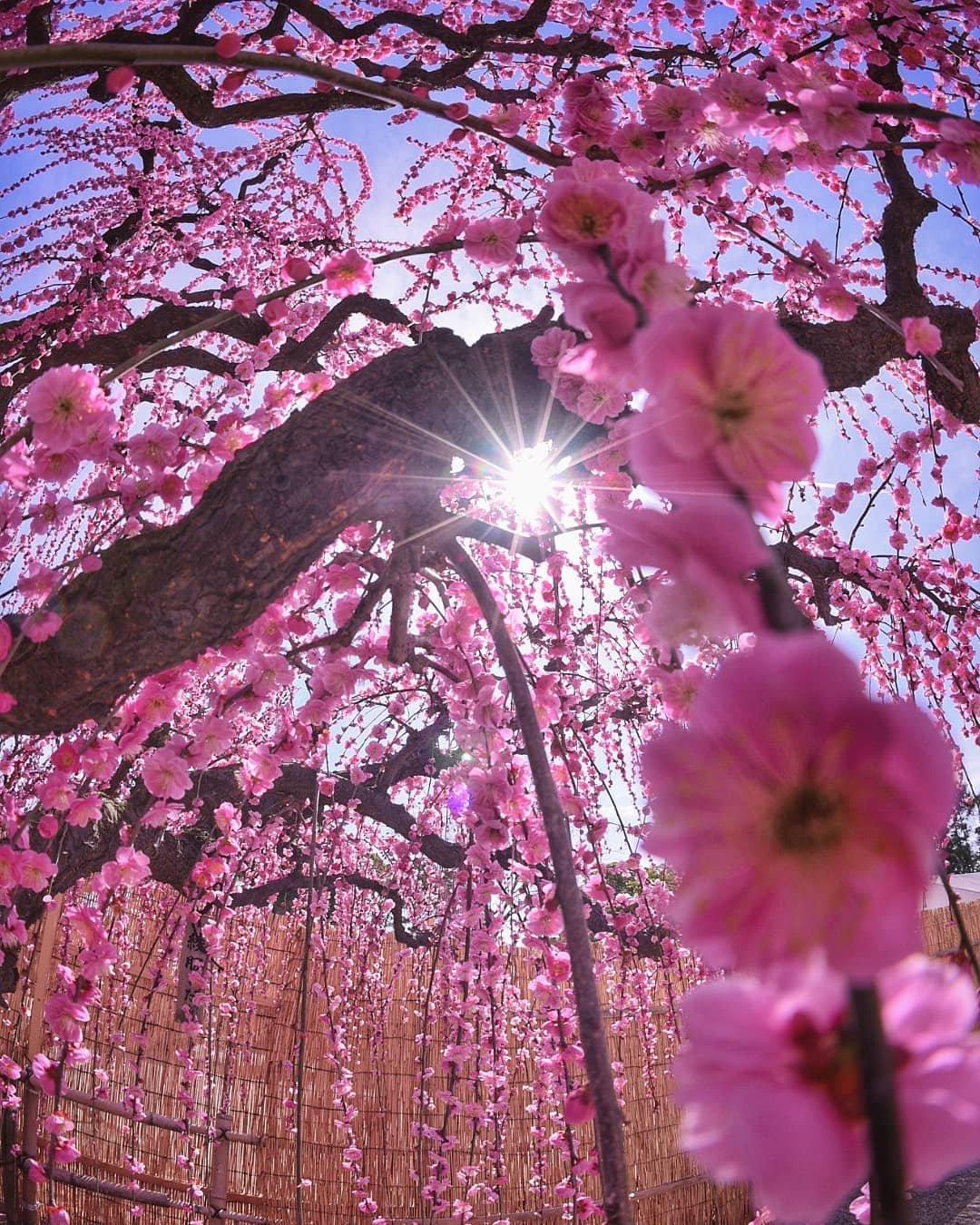 картинки сакуры в цвету полностью лаура бич кипр