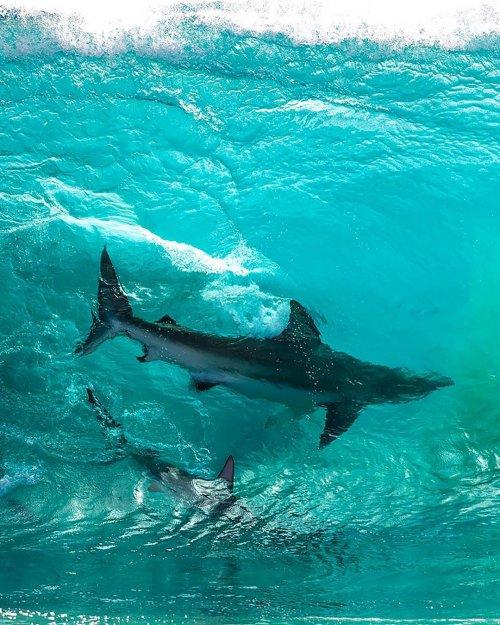 Австралийский фотограф сделал уникальный снимок акул в набегающей волне (9 фото)