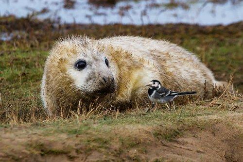 Очаровательные тюлени в фотографиях Майлза Герберта (10 фото)