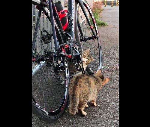 Две кошки провели впечатляющий и очень тщательный техосмотр велосипеда (фото + видео)
