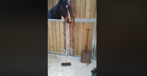 Самые чистоплотные лошади подметают конюшни самостоятельно!