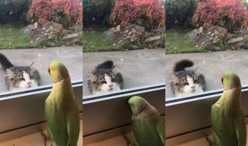 Очаровательный попугай через стекло играет в прятки с кошкой