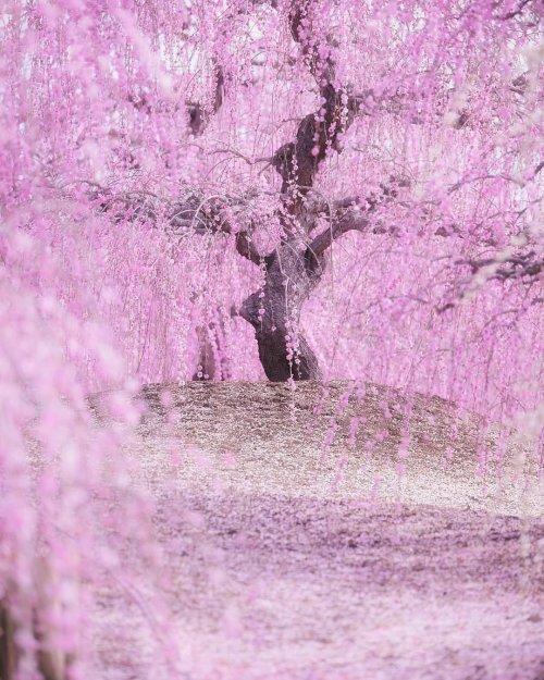 В Японии зацвела сакура (12 фото)