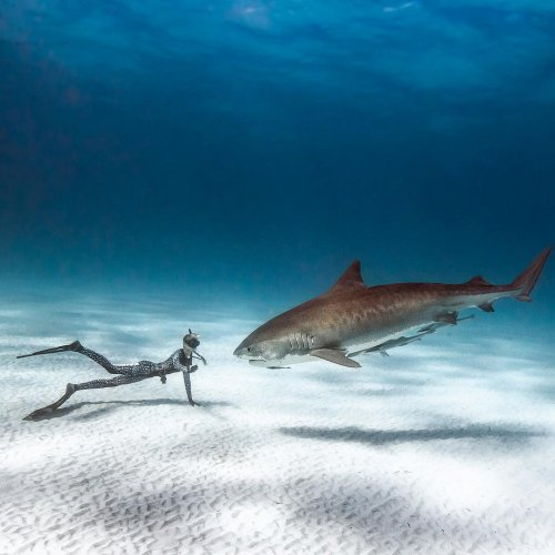 Танцы с акулами: захватывающие подводные фотографии Хуана Олифанта (24 фото)
