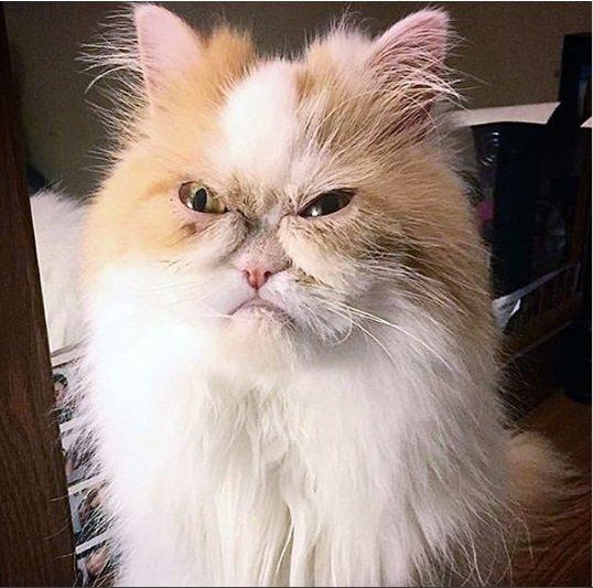 «Сердитое» выражение мордочки этого кота сделало его звездой (3 фото)