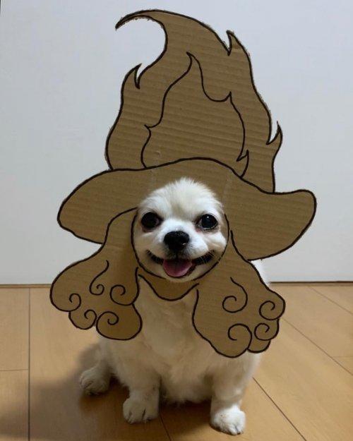 Очаровательный чихуахуа Маметаро из Японии, который любит носить картонные маски (16 фото)