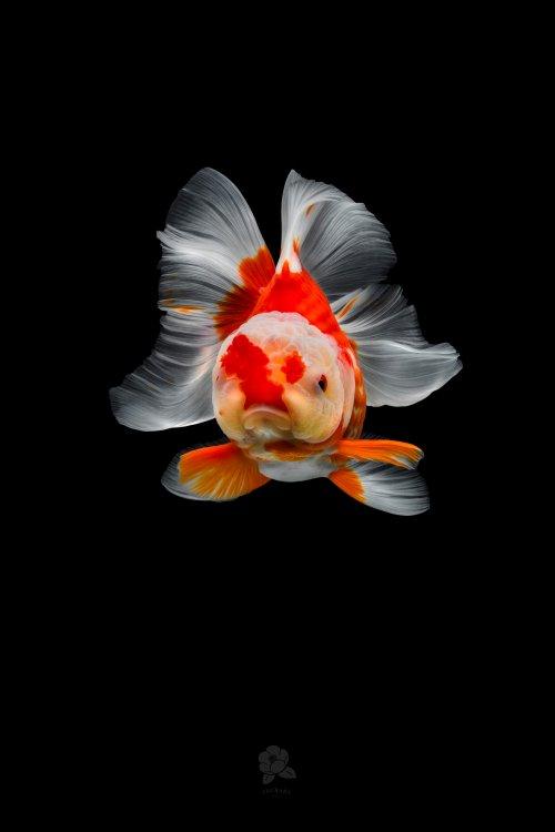Красочные портреты изящных золотых рыбок в работах фотографа Цубаки (10 фото)