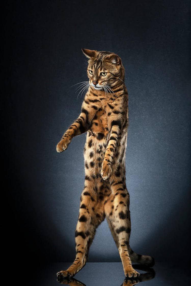Коты на двух лапах картинки