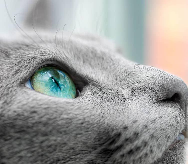 Ксафи и Аури: русские голубые кошки с завораживающими зелёными глазами