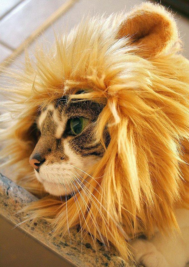 мужскую фото кота в шапке льва бесплатно