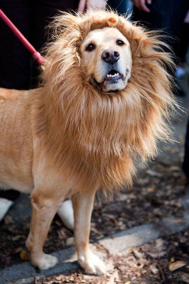 Лев собака фото