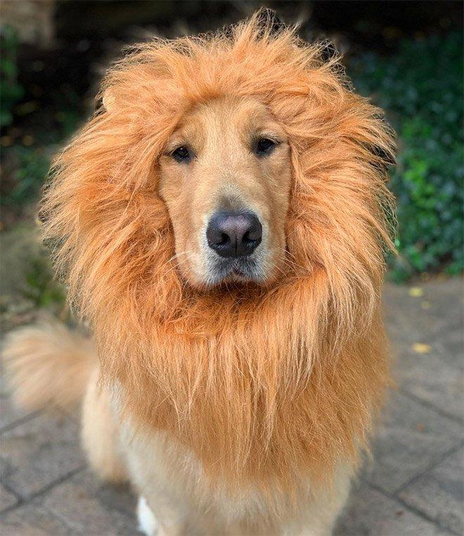 хотели картинки собак похожих на львов готовы разработать эксклюзивное