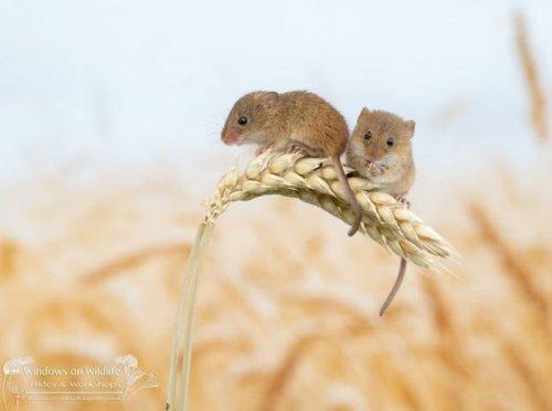 Будни очаровательных полевых мышей в фотографиях Дина Мейсона (28 фото)