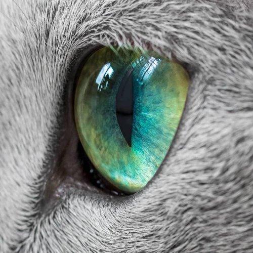 Ксафи и Аури: русские голубые кошки с завораживающими зелёными глазами (19 фото)