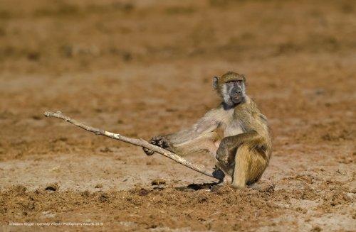 Финалисты фотоконкурса Comedy Wildlife Photography Awards 2019 (40 фото)