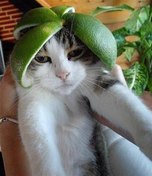 Забавные фотки котов, примеривших «шапки»