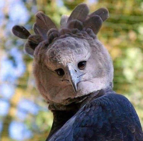 Южноамериканская гарпия - трудно поверить, что эта птица настоящая (3 фото)