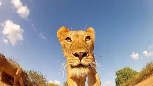 Изобретательный фотограф прикрепил фотокамеру к машинке с ДУ и делает классные снимки диких животных (9 фото)
