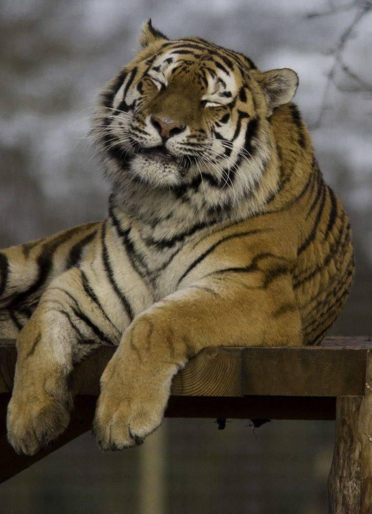 покупке трех тигр фото добрый будем