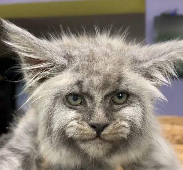 кошки с человеческим лицом картинки