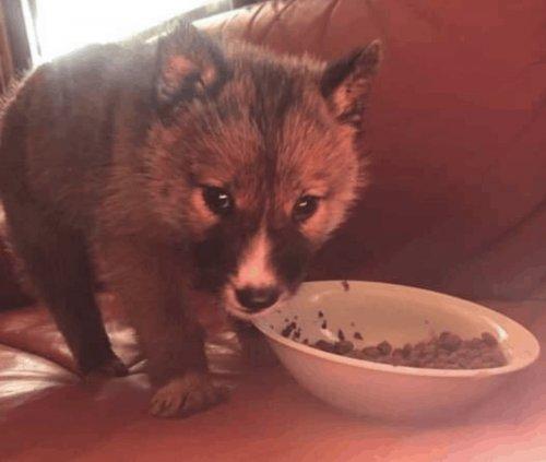 Чистокровный щенок Динго оказался на заднем дворе (11 фото)