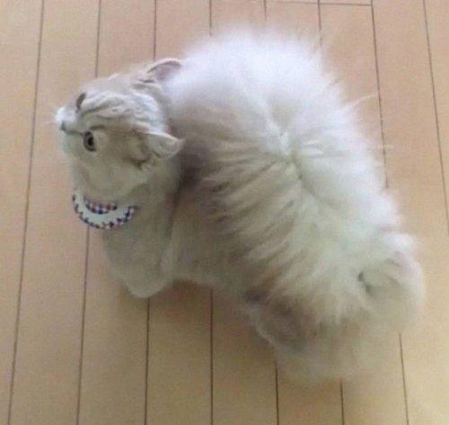 Кошка Белль с невероятно пушистым хвостом (13 фото)