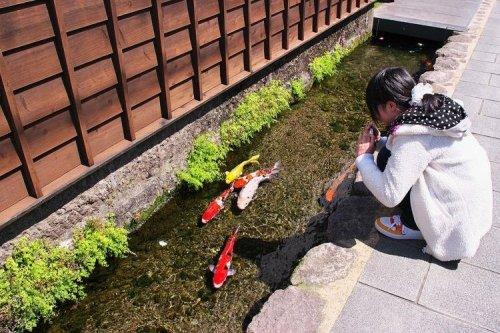 Карпы кои в водосточных городских каналах в Японии (7 фото)