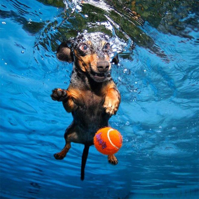 Фотограф запечатлел собак, которые ныряют в бассейн за своими игрушкам