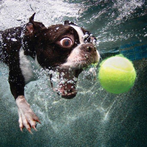Фотограф запечатлел собак, которые ныряют в бассейн за своими игрушками (21 фото)