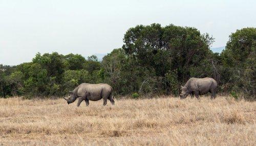 Последние особи северного белого носорога (4 фото)