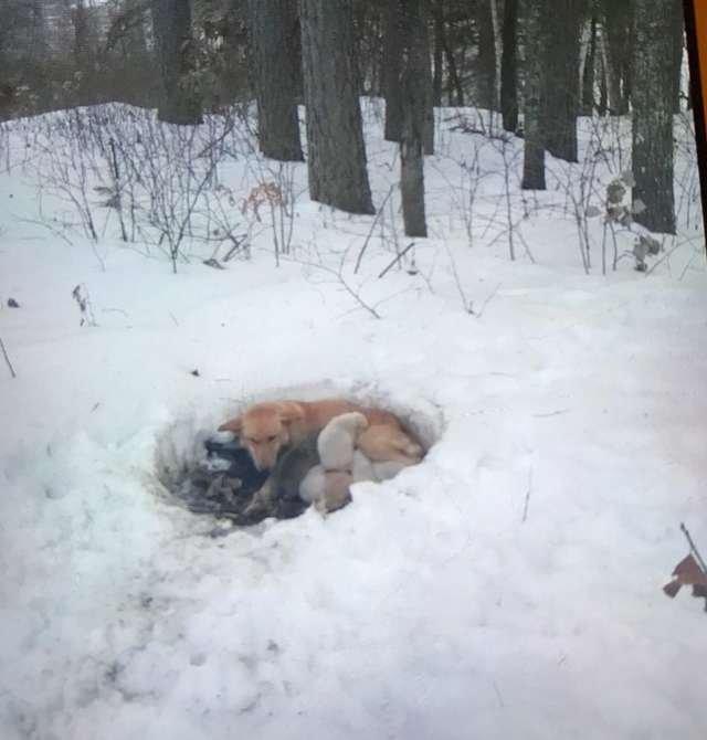Собака-мать защищала своих щенков, сделав для них дом в сугробе (5 фото)