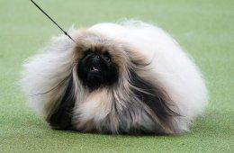 Фотографии с выставки собак Westminster Kennel Club Dog Show (23 фото)