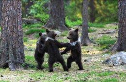 Танцующие медвежата в лесу (12 фото)