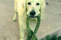 Четвероногие халки, или Собаки после прогулки по свежескошенной траве (21 фото)