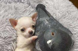 Между голубем и щенком, которому был нужен друг, установилась милая связь (6 фото)